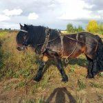 Der neueste Bewohner des Kastanienhofs: Das Nordschwedische Kaltblut Übbe. Er soll als neues Arbeitspferd Stute Tindra und Pony Carino entlasten.