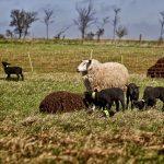 Schafe und Lämmer auf der Weise