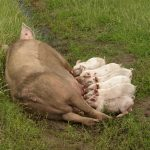 """Sau mit trinkenden Ferkeln"" by Compassion in World Farming is licensed under CC BY 2.0"