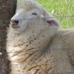 Schaf, kein Zaungast