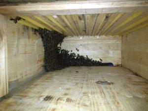 Schwarm läuft ein - Die ersten Bienen schauen sich innen um